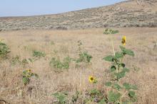 Sunflowers growing in a barren landscape