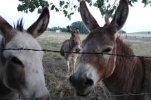 Burros behind a fence