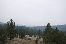 Pine forest and mountains
